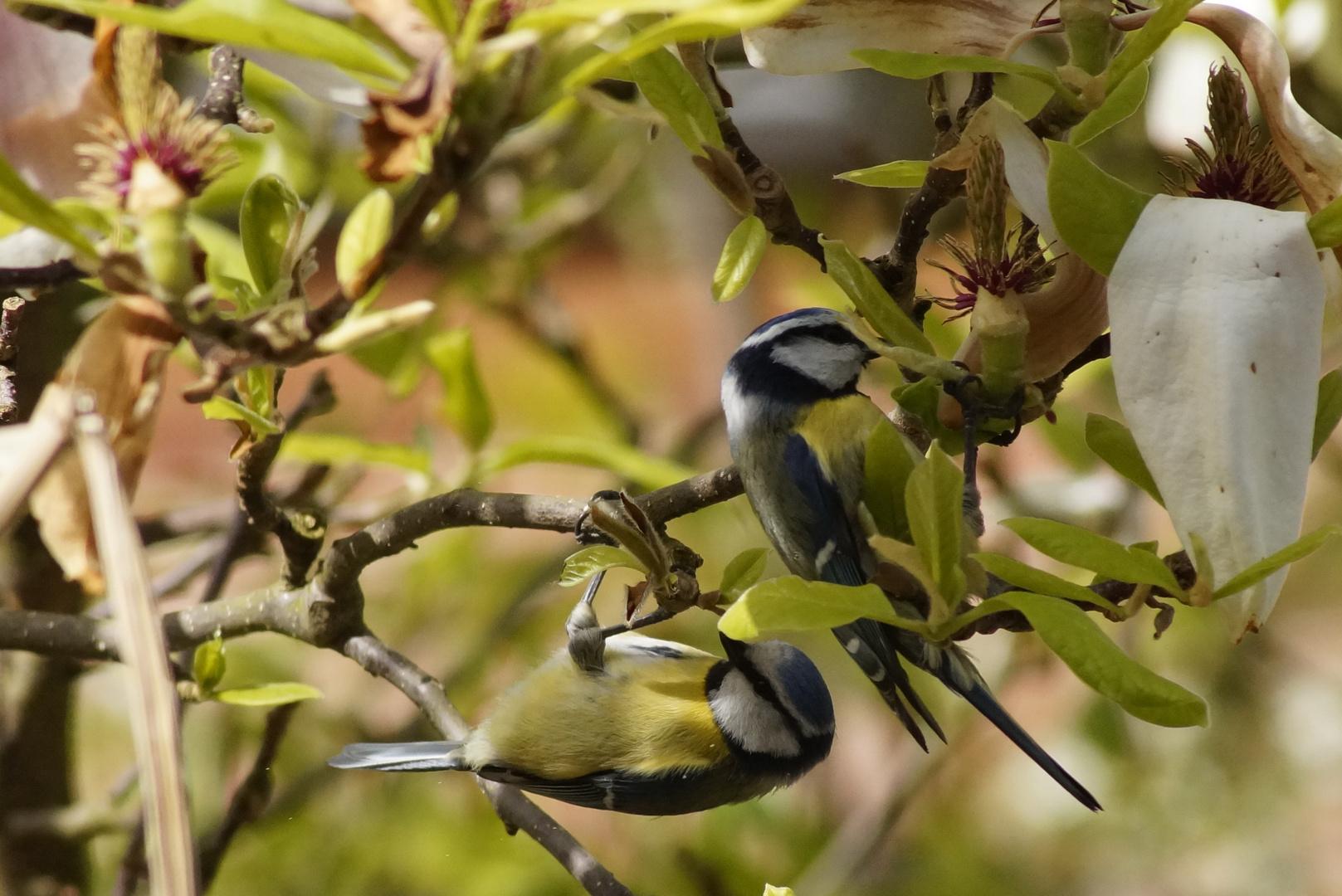 Blaumeisen toben durch unseren Garten...