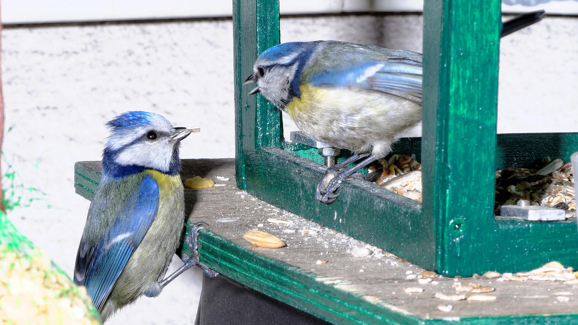 Blaumeisenpaar am Vogelhaus