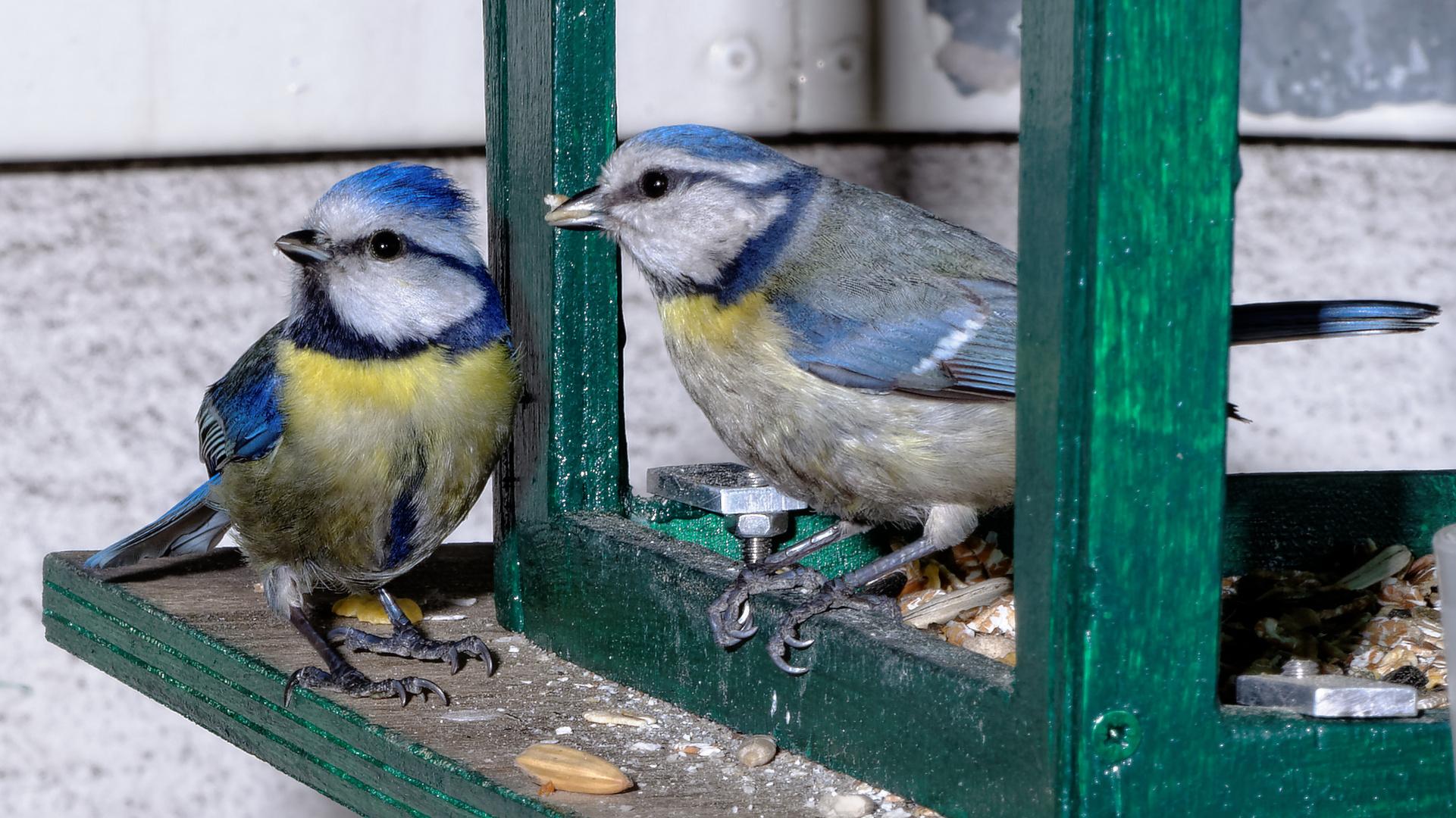 Blaumeisenpärchen am Vogelhaus