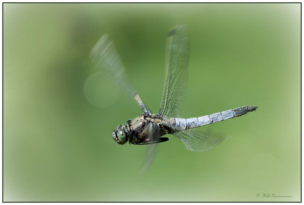 Blaupfeil Libelle