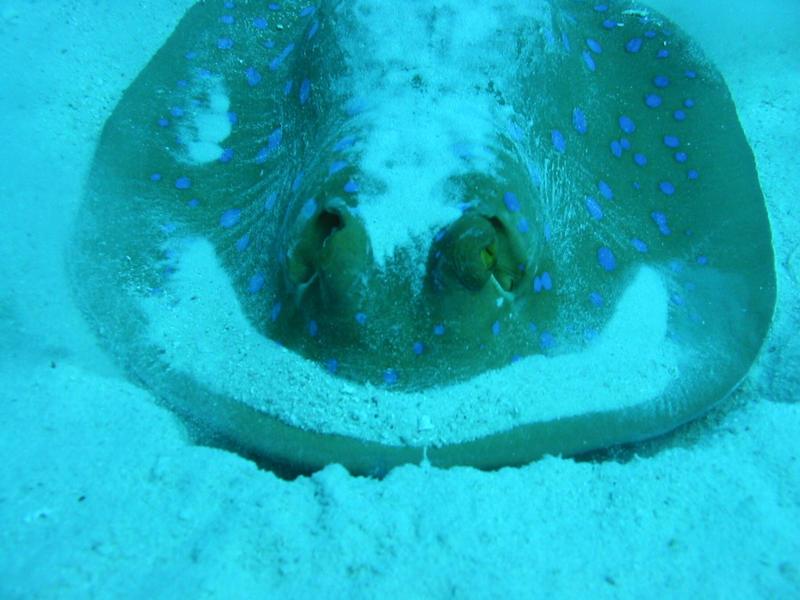 Blaupunktrochen Rotes Meer