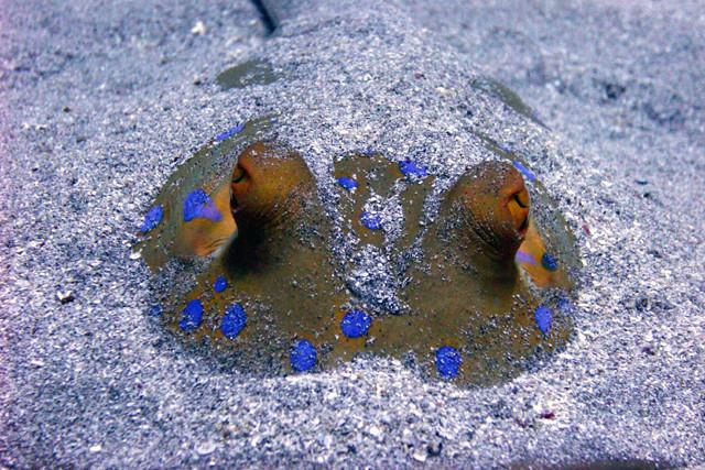Blaupunktrochen vergraben im Sand