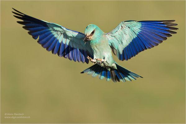 Blauracke im Anflug mit Beute