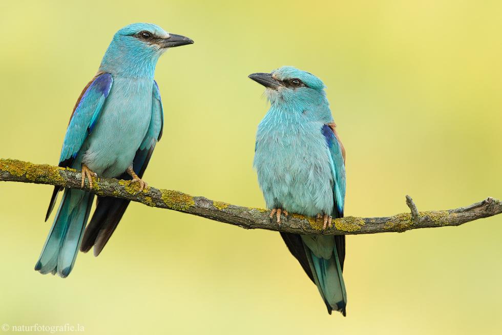 ~ Blauracken - Paar ~