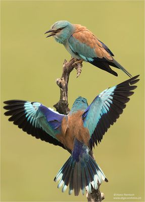 Blaurackenpaar