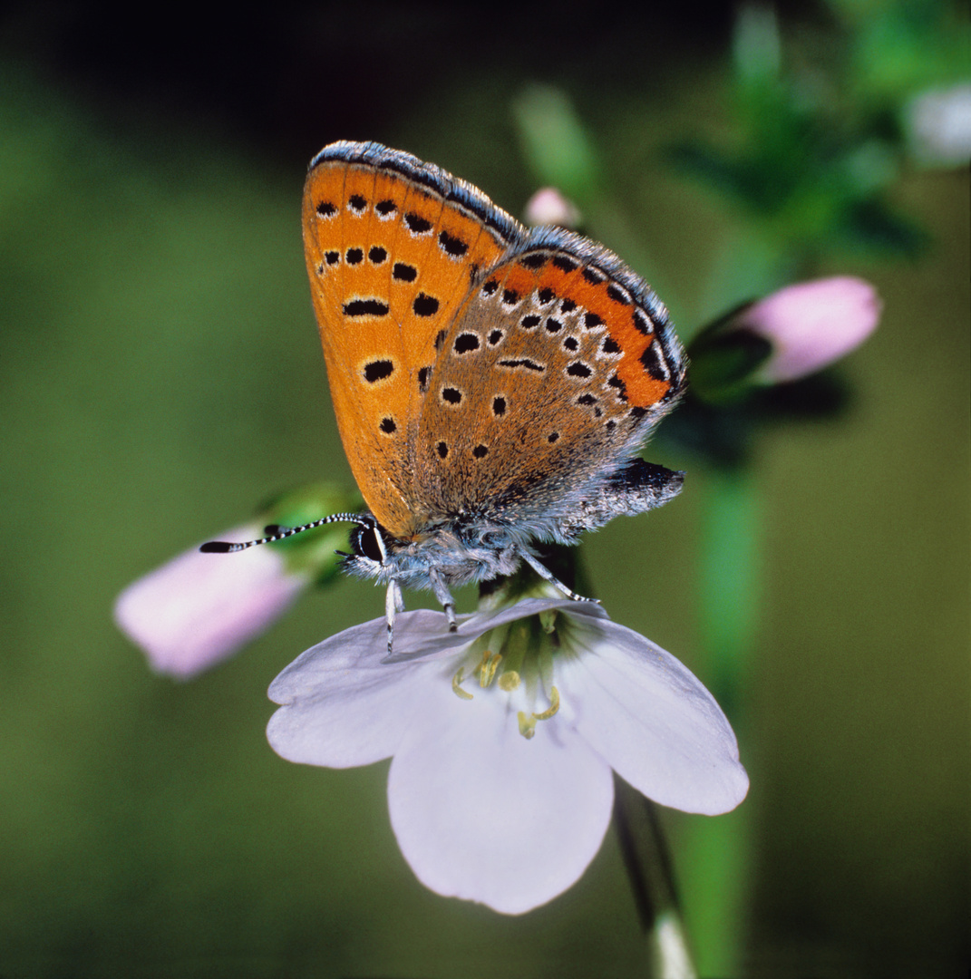 Blauschillernder Feuerfalter auf Wiesenschaumkrautblüte, Violet Copper