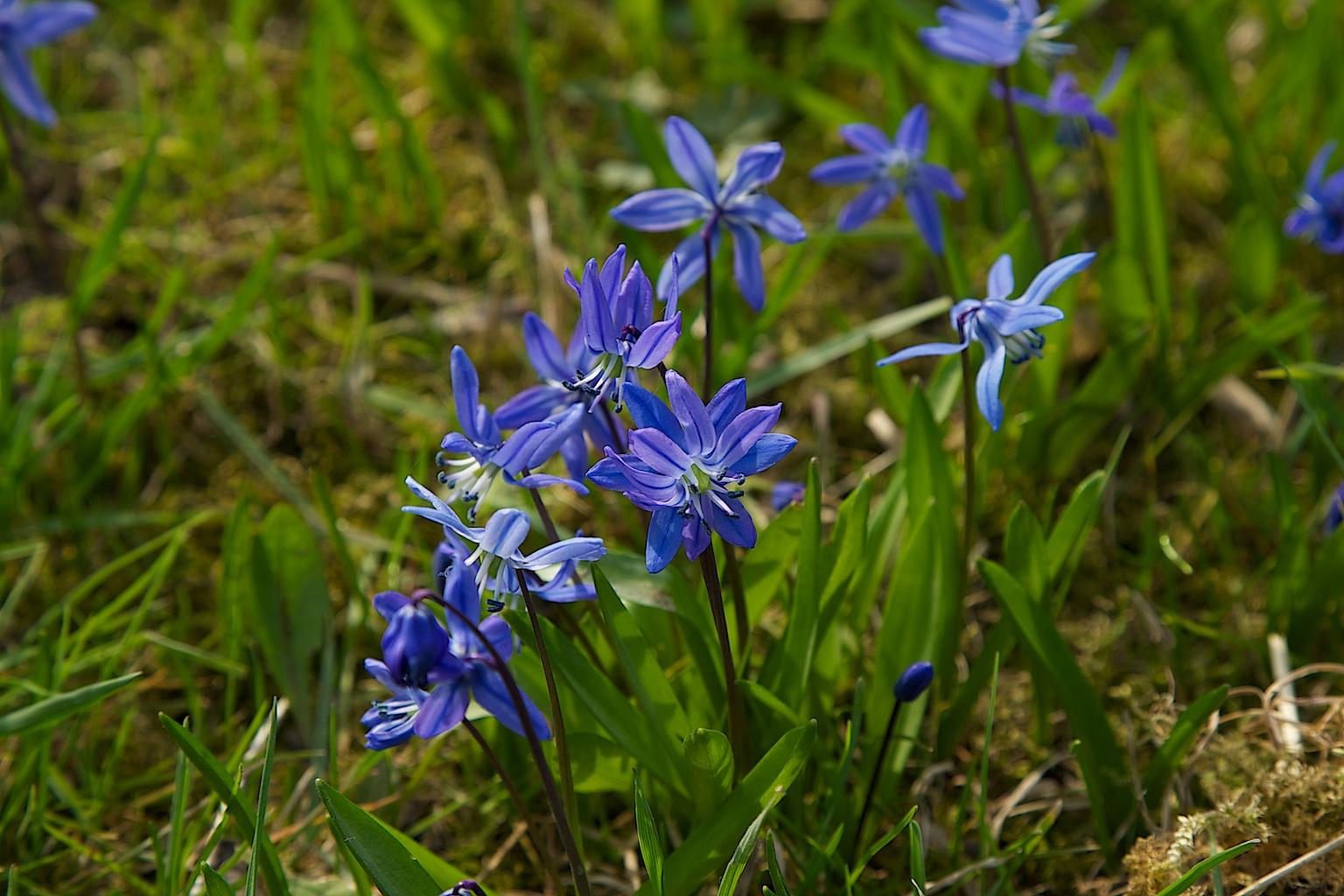 Blaustern (Scilla siberica)