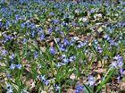 Blaustern-Wiese, mitten im Wald .........