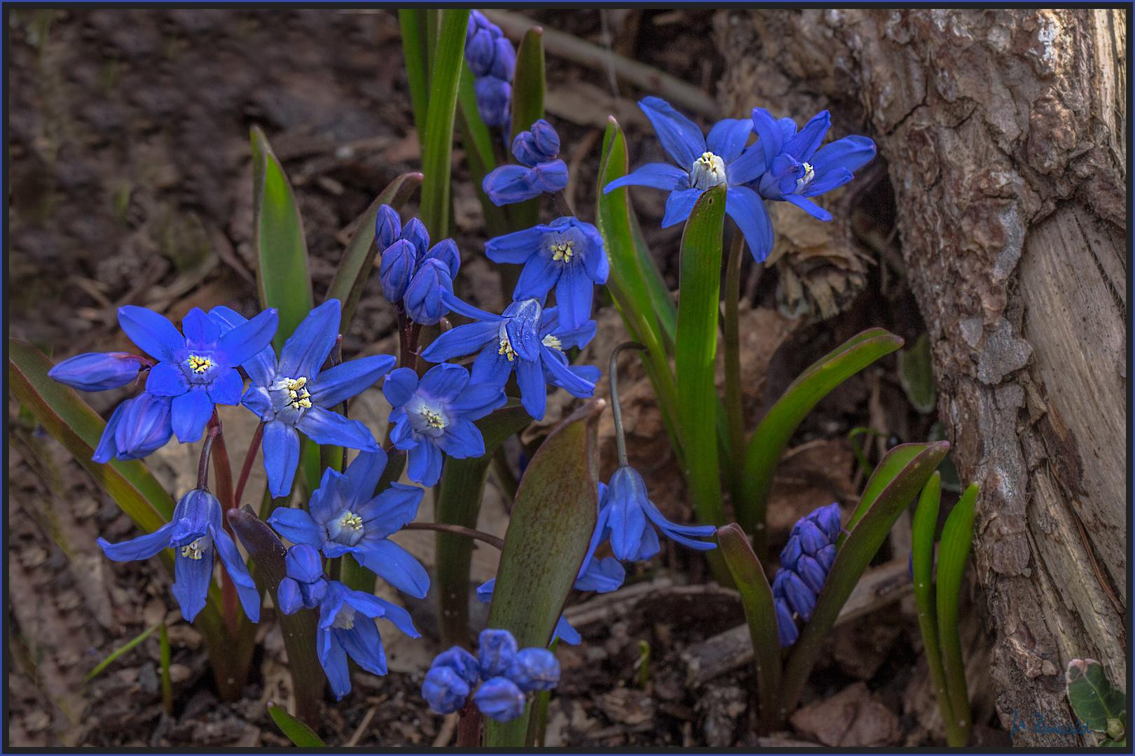 Blausternchen (Scilla bifolia)