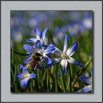 Blausterne leuchten zum Frühlingsanfang