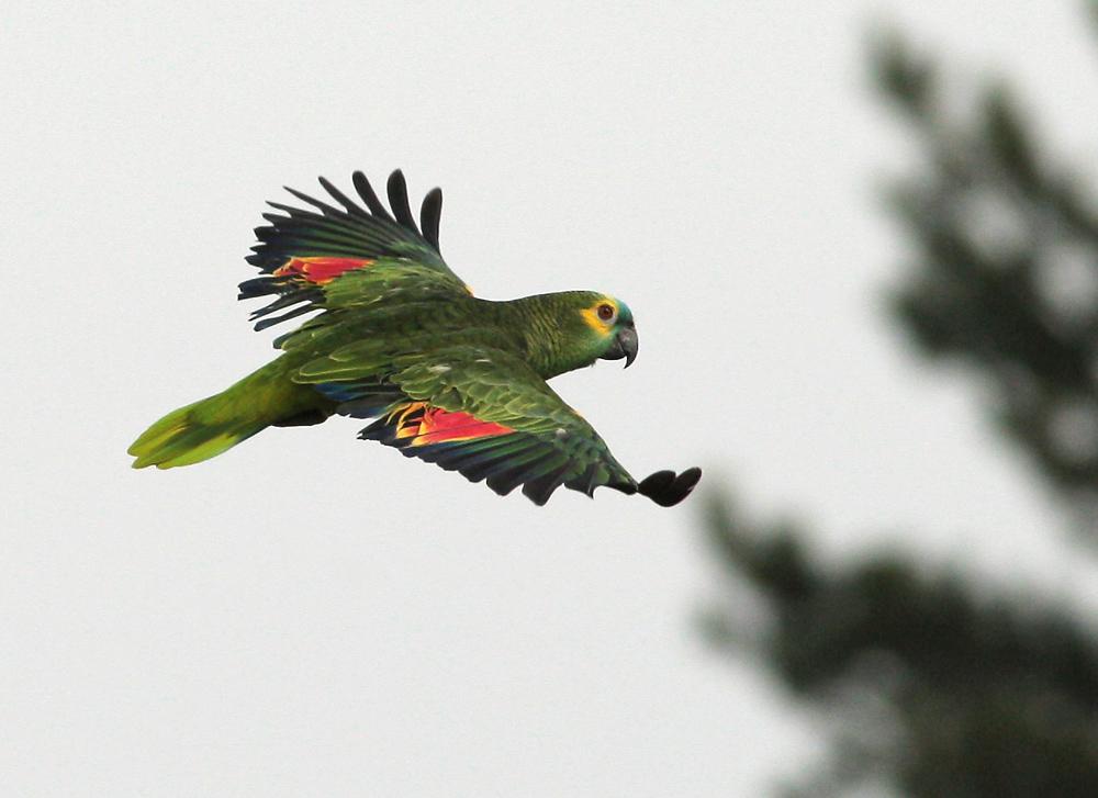 Blaustirnamazone im flug foto bild tiere zoo for Fliegen auf blumenerde
