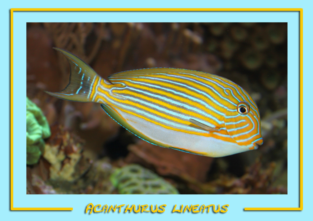 Blaustreifen Doktorfisch - Acanthurus lineatus