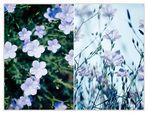 *blauviolett