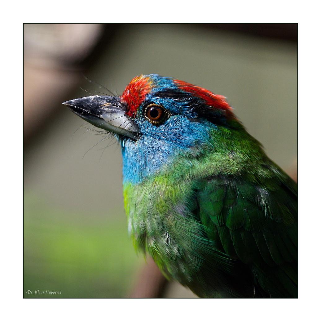 Blauwangen-Bartvogel