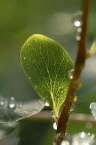 Blazing Rainy Leaf
