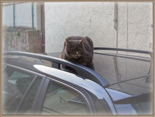 Blechdach-Katze