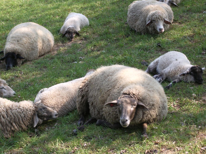 bleibense Mensch (Schaf)