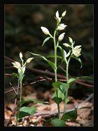 Bleiches Waldvögelein (Cephalanthera damasonium)