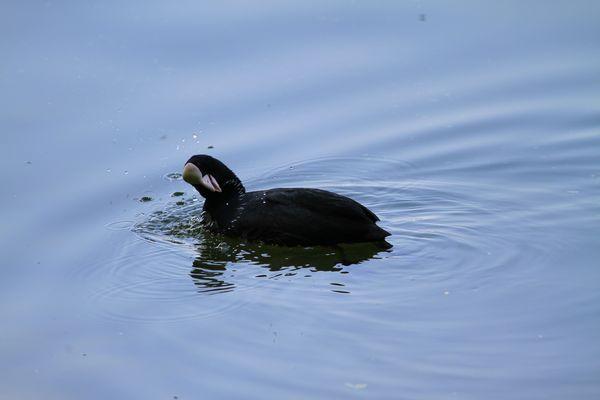 Blesshuhn im Wasser