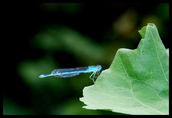 bleu comme libellule