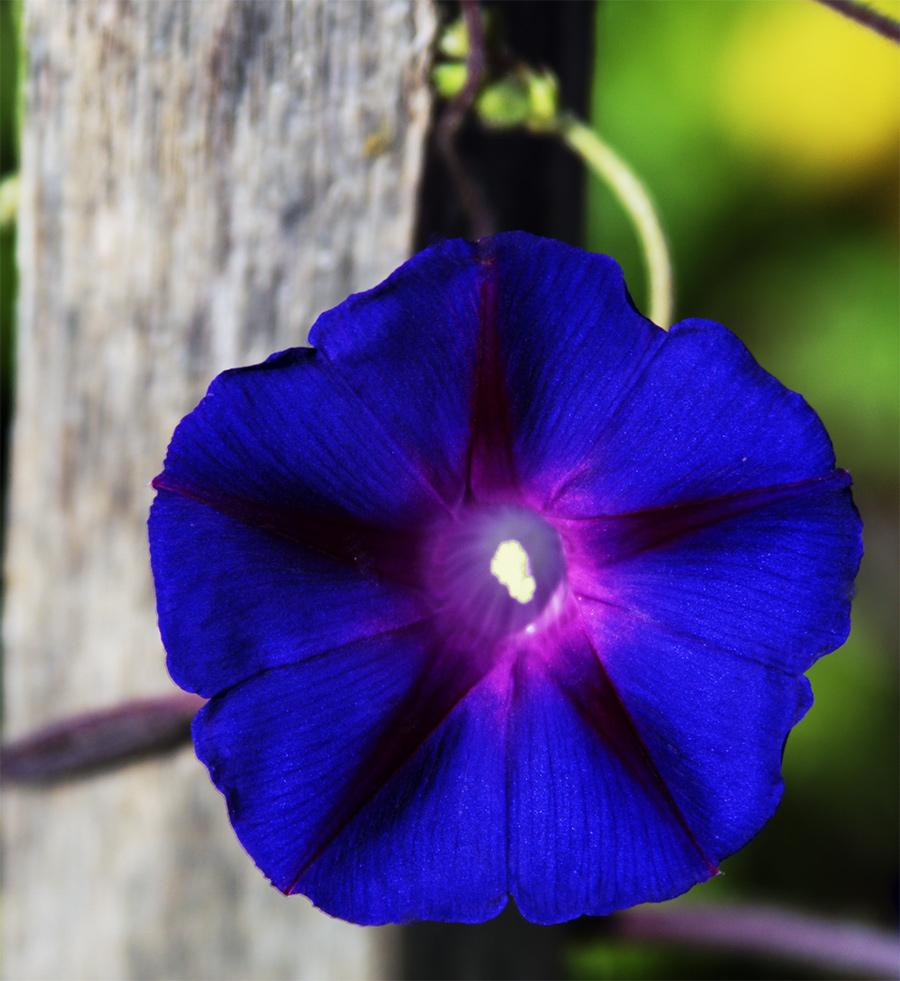 Bleu volubis