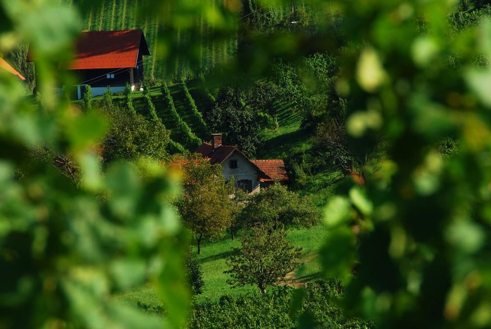 Blick durch die Weinstöcke