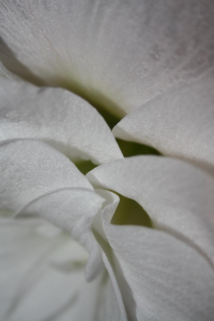 Blick in eine Amaryllisblüte