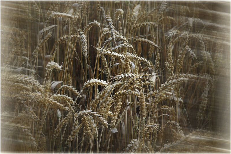 Blick ins Weizenfeld
