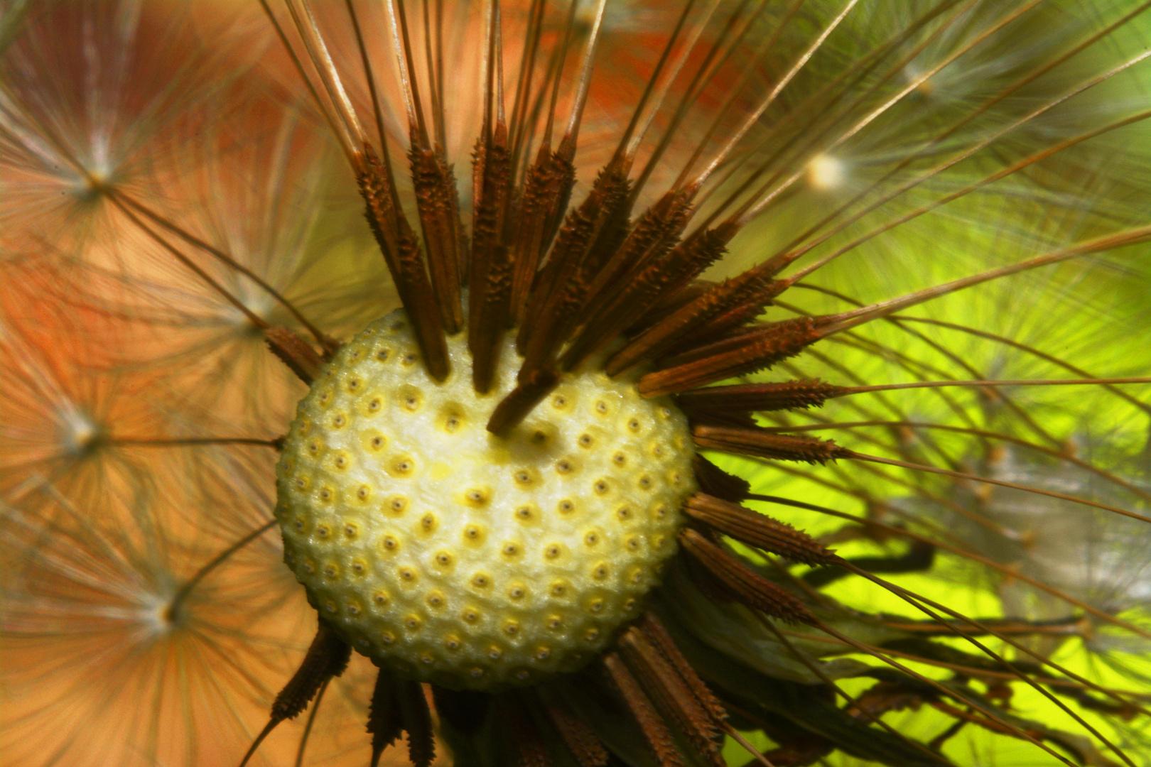 Blick ins Zentrum einer Pusteblume