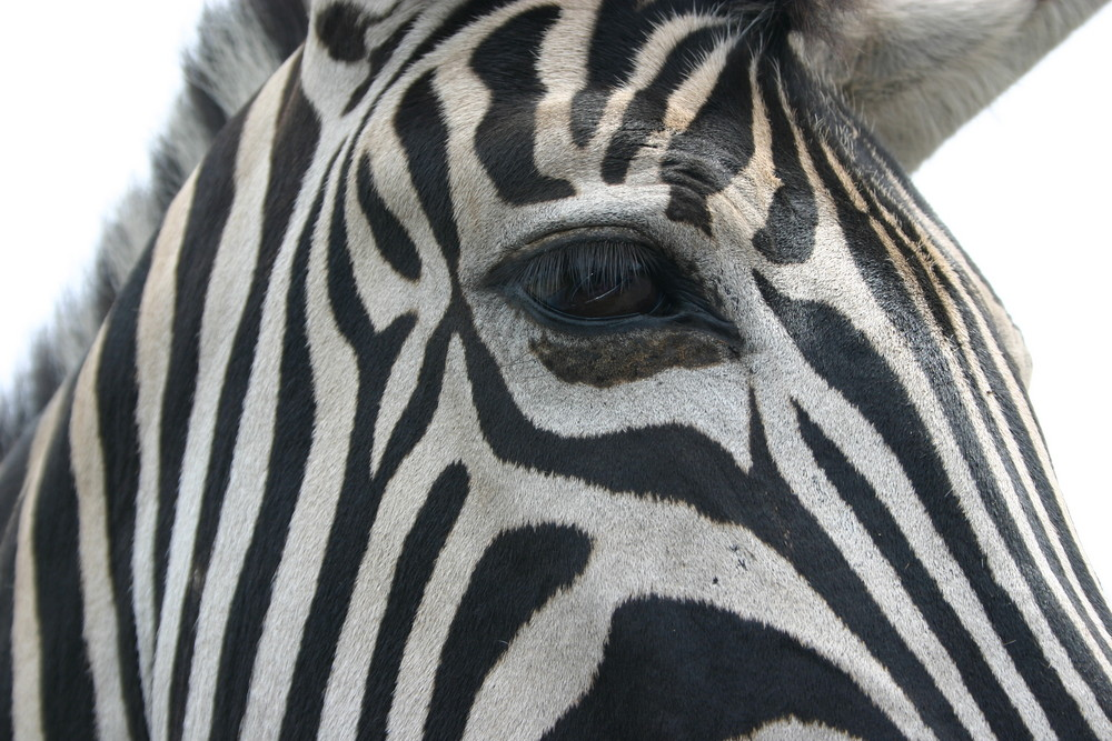 Blickkontakt mit Zebra
