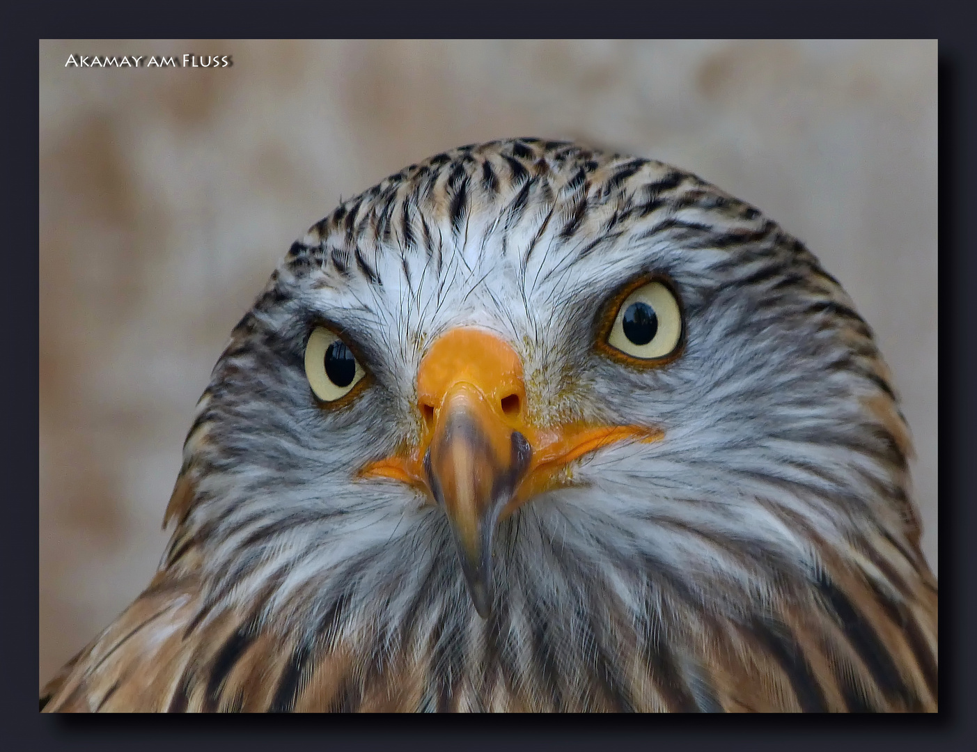Blickkontakt-Rotmilan
