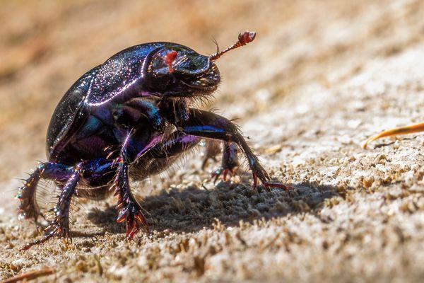 Bling Bling Beetle