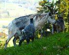 Blobe Ziege - Eine alte bedrohte Ziegenrasse aus dem Alpenraum