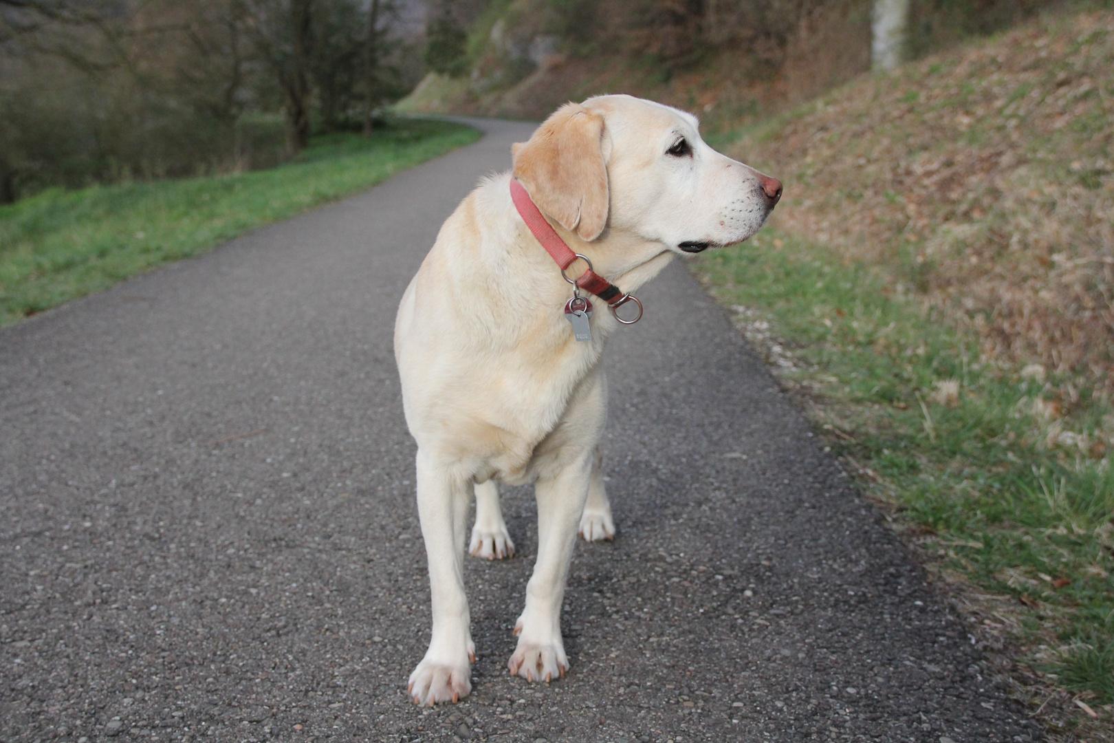 Blonde Labradorhündin
