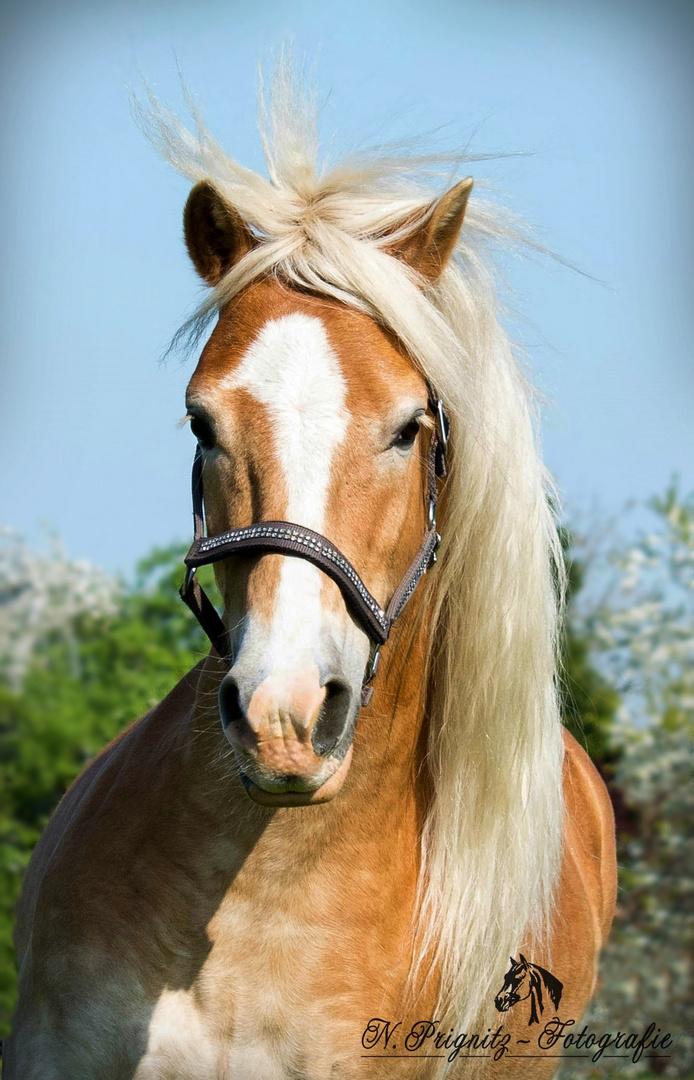Blonde Mähne im Wind