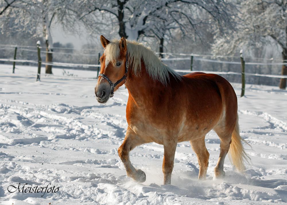 blondi im schnee foto bild tiere haustiere pferde esel maultiere bilder auf fotocommunity. Black Bedroom Furniture Sets. Home Design Ideas