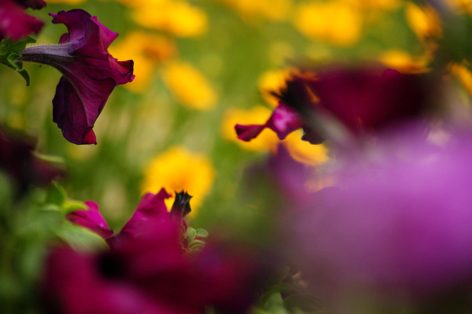 blooming gardenflowers.
