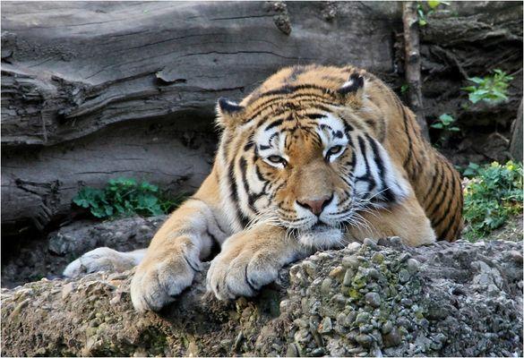 blos nich am tiger packen!