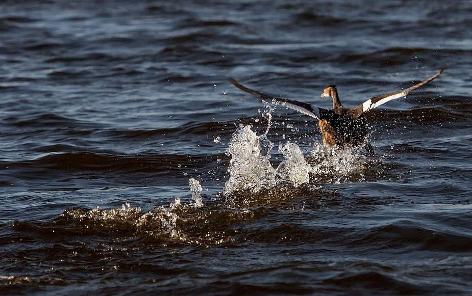 Blos weg, der Seeadler kommt