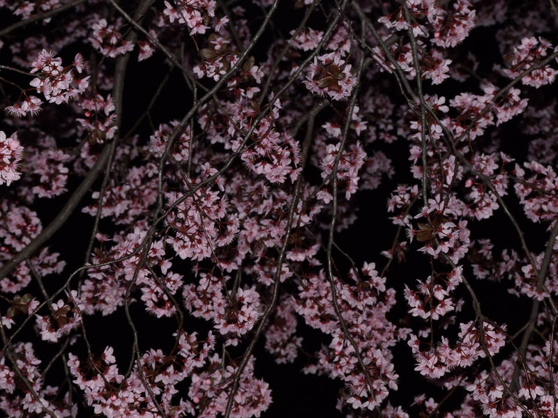 Blossoms at night