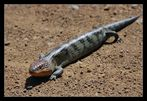 Blotched Blue-Tongue Lizard, Tiliqua nigrolutea