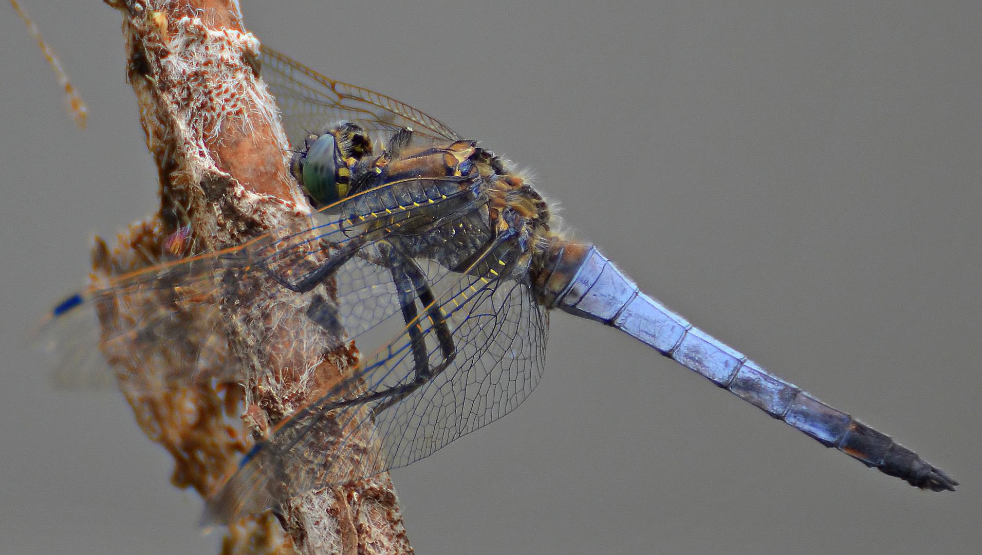 *Blue Arrow dragonfly*