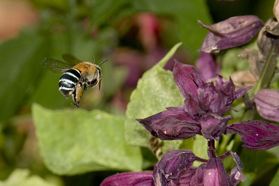 Blue Banded Bee (Amegilla) in flight