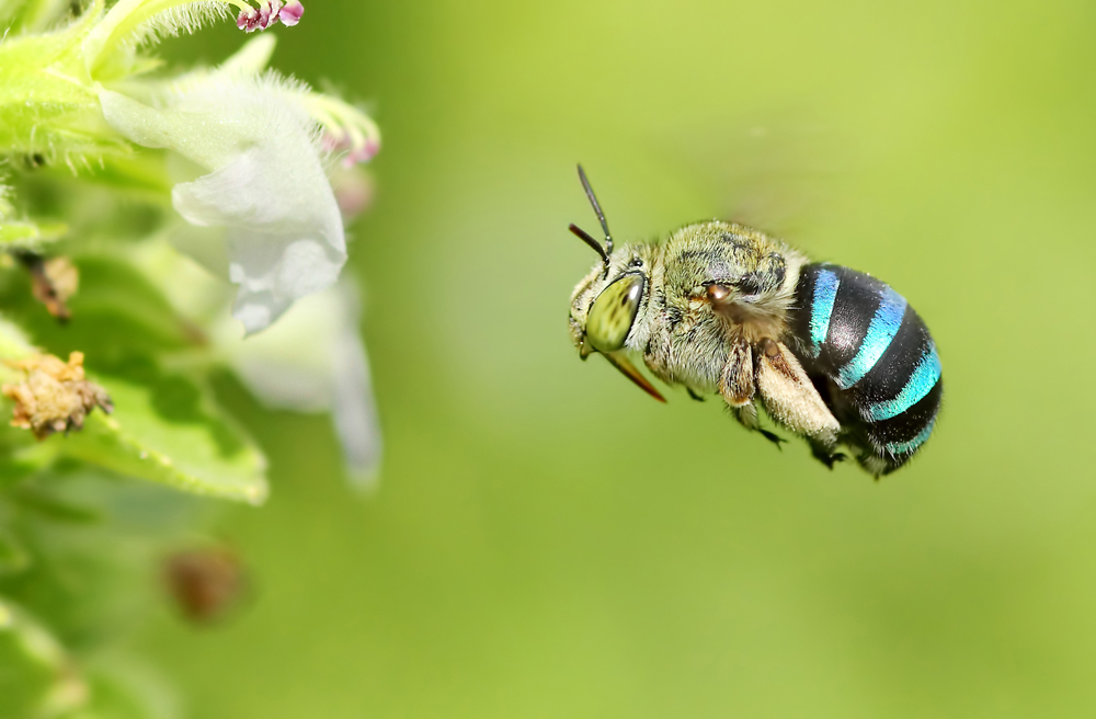 Blue Banded Bee Flight