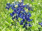 Blue Bonnets Texas Wildlife