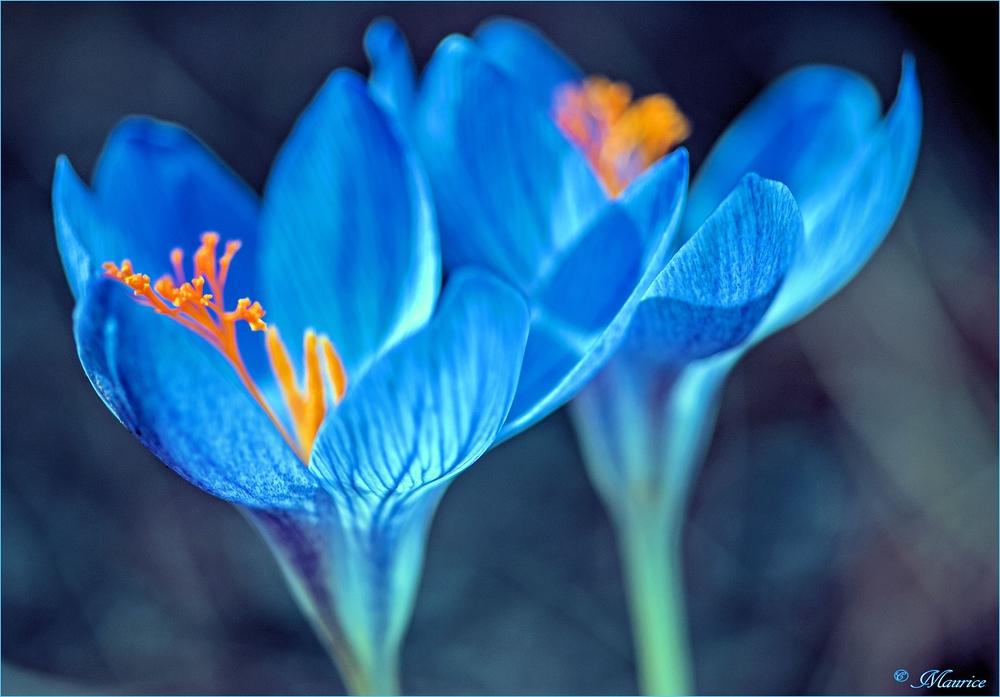 > BLUE DREAM