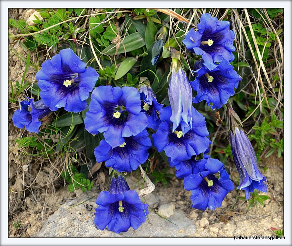 Blue Enzian