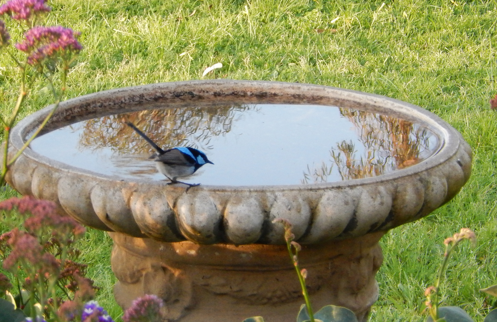 Blue Fairy Wren, Male