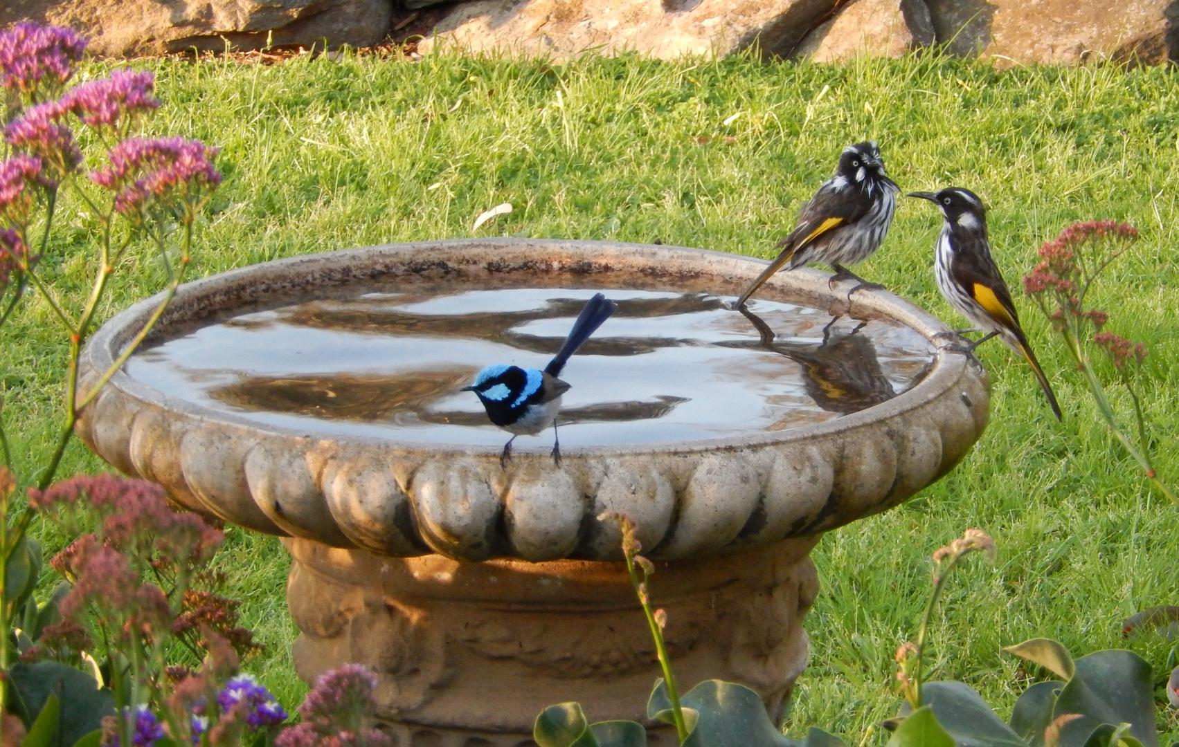 Blue Fairy Wren & New Holland Honey Eater