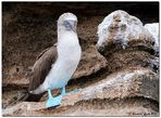 Blue-Footed Booby (2)